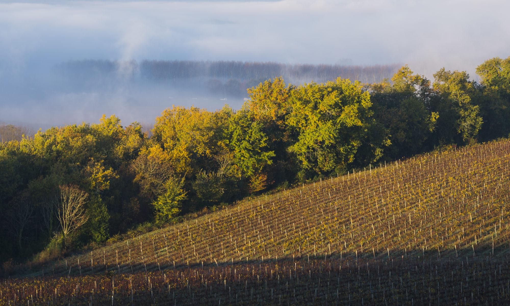 Vignes à Langoiran dans le brouillard matinal